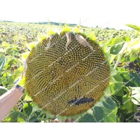 Семена подсолнечника НК Неома